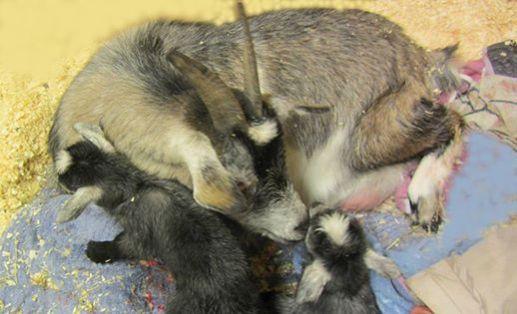 goat lucky's babies