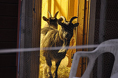 goats at christmas