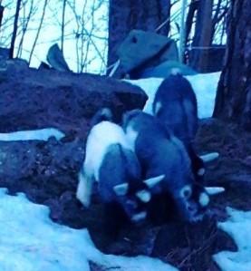 goats garden babies outside