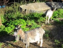 goats garden goats