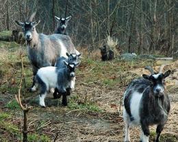 the goats garden three generations