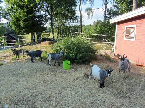 the goats garden goats in garden